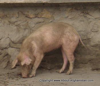 Afghanistan pig