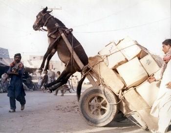 Afghan Donkey