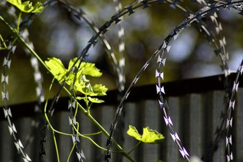 concertina wire and flowers